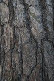 Abete di struttura nella foresta Immagini Stock Libere da Diritti