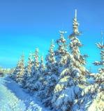 Abete Jakutsk di inverno Fotografia Stock Libera da Diritti