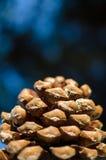 Abete o pino di Pinecone Mediterraneo Fotografia Stock Libera da Diritti