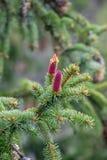 Abete rosso Fotografia Stock