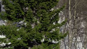 Abete rosso antichissimo nelle montagne video d archivio