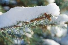 Abete rosso blu dell'abete nella neve Fotografia Stock