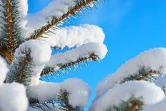 Abete rosso blu dell'abete nella neve Immagine Stock