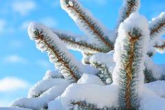 Abete rosso blu dell'abete nella neve Immagine Stock Libera da Diritti