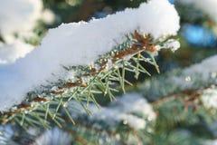 Abete rosso blu dell'abete nella neve Fotografie Stock