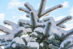 Abete rosso blu dell'abete nella neve Fotografia Stock Libera da Diritti