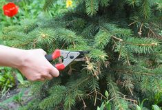 Abete rosso blu di potatura Ramo di albero del taglio del giardiniere con il secateu di esclusione Fotografie Stock