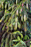 Abete rosso con i coni Fotografia Stock