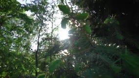 Abete rosso del pino sopra contro il Sun video d archivio
