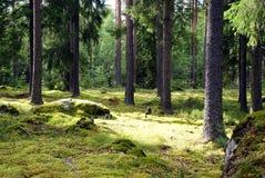 abete rosso della foresta Immagini Stock