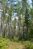 Abete rosso di freschezza degli alberi della strada dei mirtilli rossi del mirtillo della radura della foresta del percorso Fotografia Stock