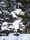 Abete rosso di inverno Fotografie Stock