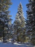 Abete rosso di inverno Fotografie Stock Libere da Diritti