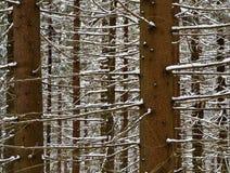 Abete rosso di Snowy le filiali Immagine Stock