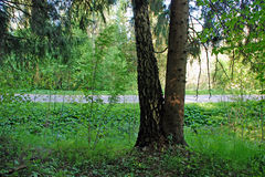 Abete rosso e betulla fusi alla terra Fotografia Stock Libera da Diritti
