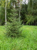 Abete rosso nella foresta su una radura fotografia stock