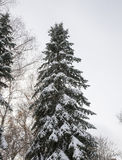 Abete rosso nella neve Immagini Stock Libere da Diritti