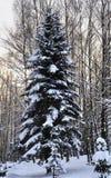 Abete rosso nella neve nell'inverno Fotografia Stock