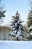 Abete rosso nella neve nell'inverno Immagini Stock