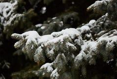 Abete rosso nella neve Ramifichi con gli aghi Immagini Stock Libere da Diritti