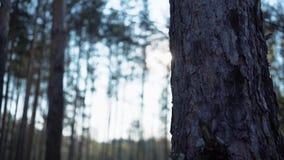 Abete rosso non trattato verde di Forest Pine Trees Fairy Forest Modello della foresta video d archivio