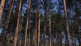 Abete rosso non trattato verde di Forest Pine Trees Fairy Forest Modello della foresta stock footage