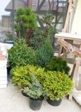 Abete rosso sempreverde, thuja, ginepri in vasi pronti per la piantatura nel giardino per architettura del pæsaggio Immagine Stock