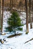 Abete rosso verde nella foresta di inverno Fotografie Stock Libere da Diritti