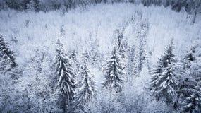 Abeti coperti di neve fotografia stock
