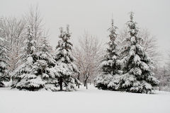 Abeti coperti di neve fotografia stock libera da diritti