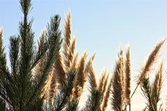 Abeti dell'erba di pampa Immagini Stock