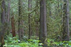 Abeti della Douglas in foresta pluviale Immagini Stock