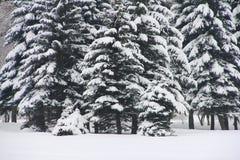 Abeti dello Snowy Fotografia Stock