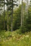 Abeti di Fraser guasti, Wildflowers fotografie stock