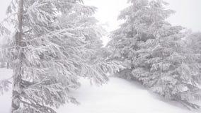 Abeti di Natale nella nevicata selvaggia della foresta di inverno della neve archivi video