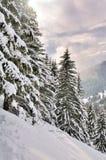 Abeti di Snowy al tramonto Immagini Stock