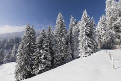 Abeti di Snowy con un prato nevoso nelle alpi in Svizzera Fotografia Stock Libera da Diritti
