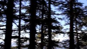 Abeti himalayani e abete bianco sul fianco di una montagna stock footage