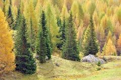 Abeti Larici e im autunno Stockfotografie
