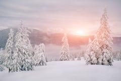 Abeti magici coperti da neve in montagne Immagini Stock