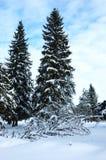 Abeti nella foresta di inverno Fotografia Stock