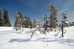 Abeti nella stagione di inverno Fotografie Stock Libere da Diritti
