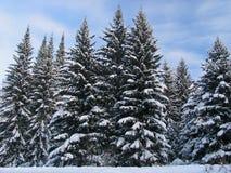 Abeti sotto la neve Immagine Stock