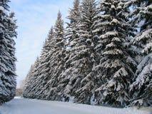 Abeti sotto la neve Fotografia Stock