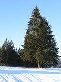 Abeti sulla collina nella foresta di inverno Immagine Stock