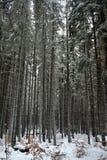 Abeti in vecchia foresta Immagine Stock Libera da Diritti
