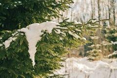 abeto-árvore Brilhante-iluminada coberta com o gelo e a neve imagens de stock
