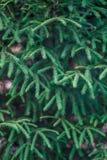 Abeto-aguja Imagen de archivo libre de regalías