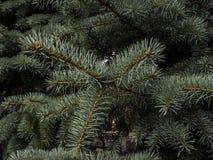 Abeto azul del pino Fotografía de archivo libre de regalías