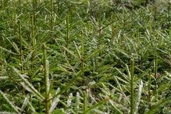 Abeto-bosque Imagem de Stock